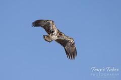Young bald eagle flees a tormentor