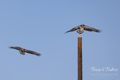 Young bald eagle chases another