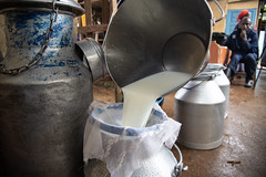 Milking time at Simon and Sylvia Kiruja's dairy farm in Meru, Kenya.