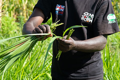 Researchers work with farmers to measure and weigh forage grasses in field trials to find better forage feed varieties project together with KALRO, Send a Cow and Advantage Crops.