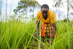 Nelly Adhiambo with her grasses in Busia, Kenya. She has seen the benefit of new forages grasses as a result of the Grass to Cash project together with KALRO, Send a Cow and Advantage Crops.