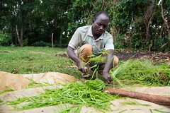 Chopping feed in Busia, Kenya. Farmers are realizing the benefit of new forages grasses as a result of the Grass to Cash project together with KALRO, Send a Cow and Advantage Crops.