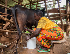 Nelly Adhiambo milking her cows in Busia, Kenya. She has seen the benefit of new forages grasses as a result of the Grass to Cash project together with KALRO, Send a Cow and Advantage Crops.