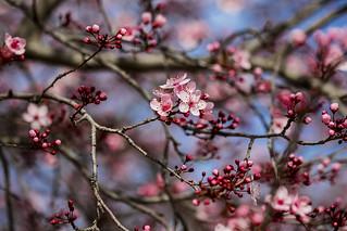 Cherry blossoms, Madrid, Spain