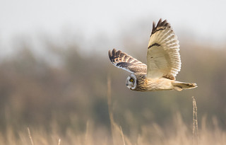 Short eared owl (first time seeing this season