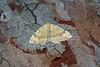 70.059 Yellow Shell (Camptogramma bilineata), Burntisland, Fife