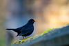 Blacbird of the Morning