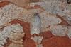 49.069 Acleris sparsana, Burntisland, Fife