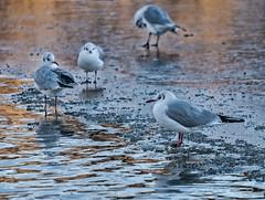 Meeuw - Gaviota - Gull