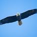 BI_Bald Eagle