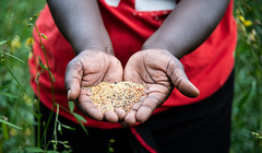Diverse seeds show by Concepta Makokha, a farmer who also runs the seedbank at Vihiga, Kenya. Researchers at the Alliance worked with partners.