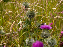 Photo of Thistle Bee