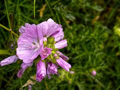 Photo of Arbroath flower