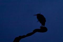 Great Blue Heron 08976