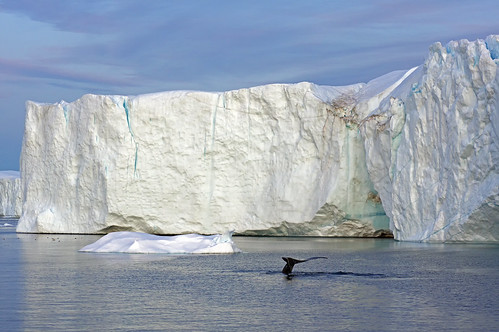 Greenland Diving humpback whale in the midnight sun image