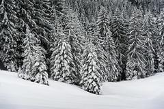 Abtenau Salzburger Land - Tannen mit Schnee