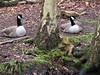 Relaxing Canada Geese...