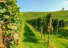 Weinberge bei Meersburg Bodensee