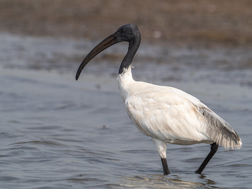 "Black-headed Ibis • <a style=""font-size:0.8em;"" href=""http://www.flickr.com/photos/59465790@N04/51010850007/"" target=""_blank"">View on Flickr</a>"