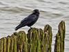 Crow on the Groynes