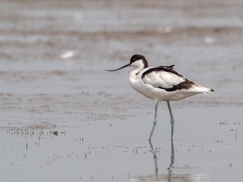 "Pied Avocet • <a style=""font-size:0.8em;"" href=""http://www.flickr.com/photos/59465790@N04/51010960222/"" target=""_blank"">View on Flickr</a>"