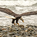 Horse clams have come and gone and even with the high winds the eagles got a good feed.