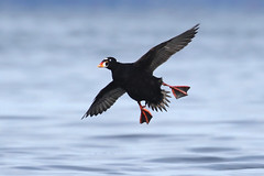 Surf Scoter - Deep Bay, BC