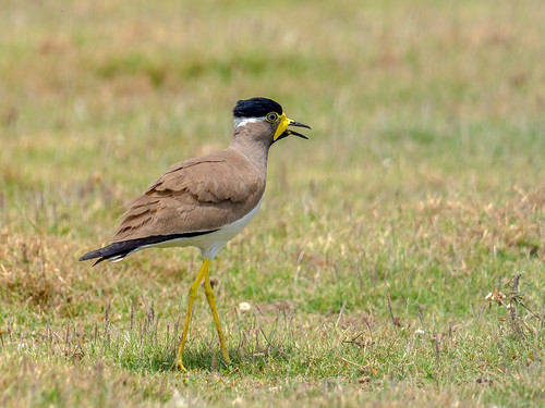 "Yellow-wattled Lapwing • <a style=""font-size:0.8em;"" href=""http://www.flickr.com/photos/59465790@N04/51011652948/"" target=""_blank"">View on Flickr</a>"