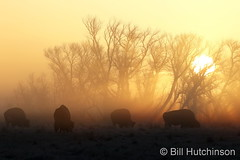 March 27, 2021 - Bison during a foggy sunrise. (Bill Hutchinson)