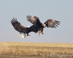 March 27, 2021 - Bald eagles battle over a meal. (Bill Hutchinson)