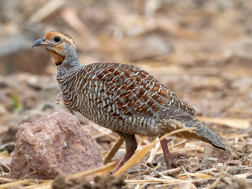 "Grey Francolin • <a style=""font-size:0.8em;"" href=""http://www.flickr.com/photos/59465790@N04/51012446386/"" target=""_blank"">View on Flickr</a>"