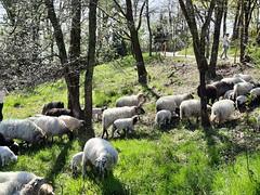 Les brebis à la prairie du Cypressat