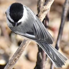 Black-Capped Chickadee, Montrose Point Bird Sanctuary, Chicago