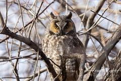 A devil-ish looking long eared owl