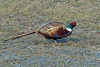 Common Pheasant, Kinghorn Loch, Fife