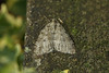 70.107 November Moth (Epirrita dilutata), Burntisland, Fife