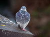 One-legged pigeon 0133