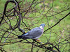 Wood pigeon 0107