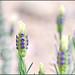 Very Fresh Lavender