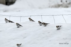 Snow Bunting  Plectrophane des neiges