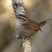 Bewick's wren, a rare treat to see one isolated in a forest. Their spring mating calls are so varied and haunting.