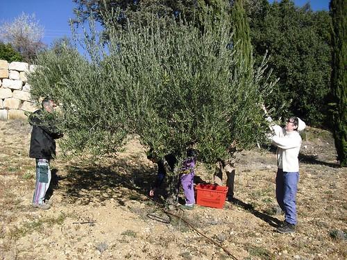 Cueillette des olives à Baudinard