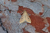 63.031 Rusty-dot Pearl (Udea ferrugalis), Burntisland, Fife