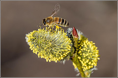 Photo of Honey bee on newly emerging Pussy Willow (salex)