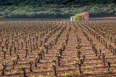 Weinstöcke bei Azat - Languedoc