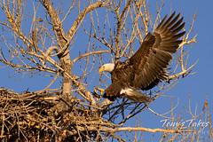 Female bald eagle coming in hot
