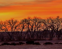 March 9, 2021 - Bison and trees at sunrise. (Bill Hutchinson)