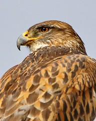 March 9, 2021 - Beautiful ferruginous hawk. (Bill Hutchinson)