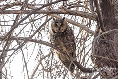 March 7, 2021 - Long eared owl looking serious. (Tony's Takes)