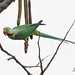 Last Meal of the day - Alexandrine Parakeet